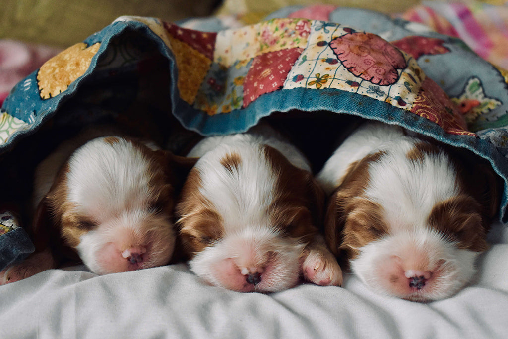 puppies in a blanket