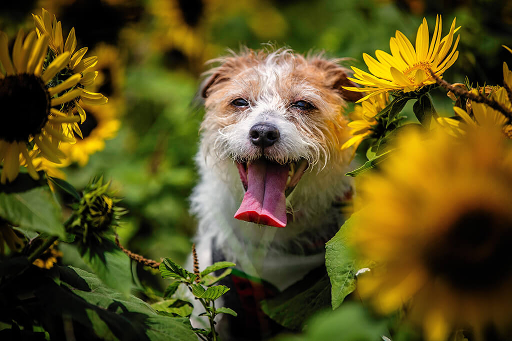 Sunflower Oil For Dogs: Is It Worth It?