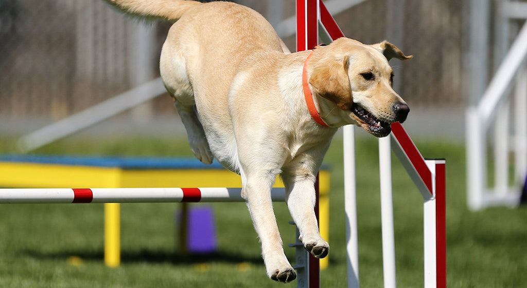 Golden Labrador jumping obstacle