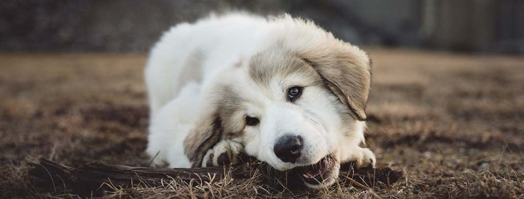 Fluffy white dog laying down