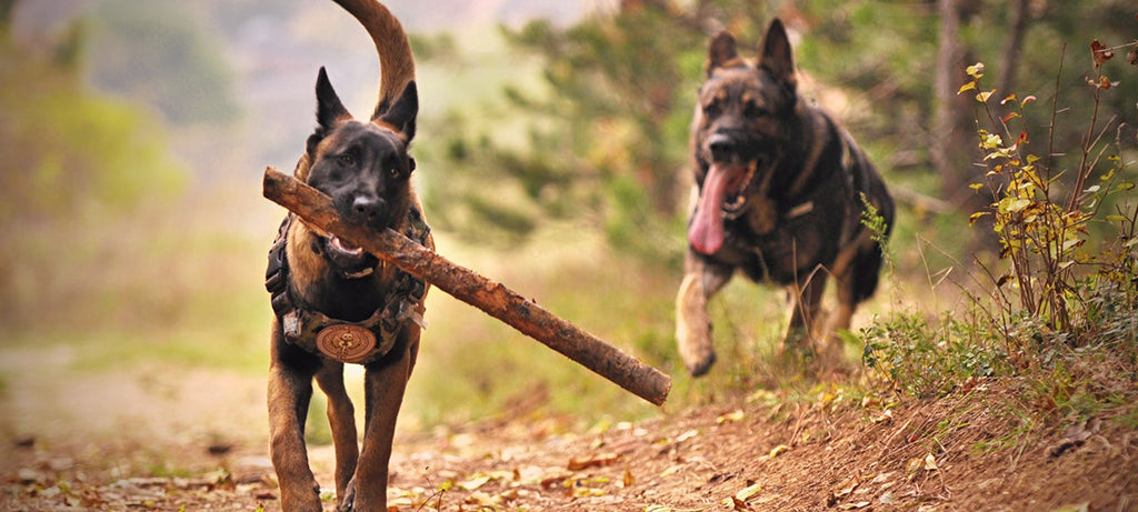 dog running with large stick