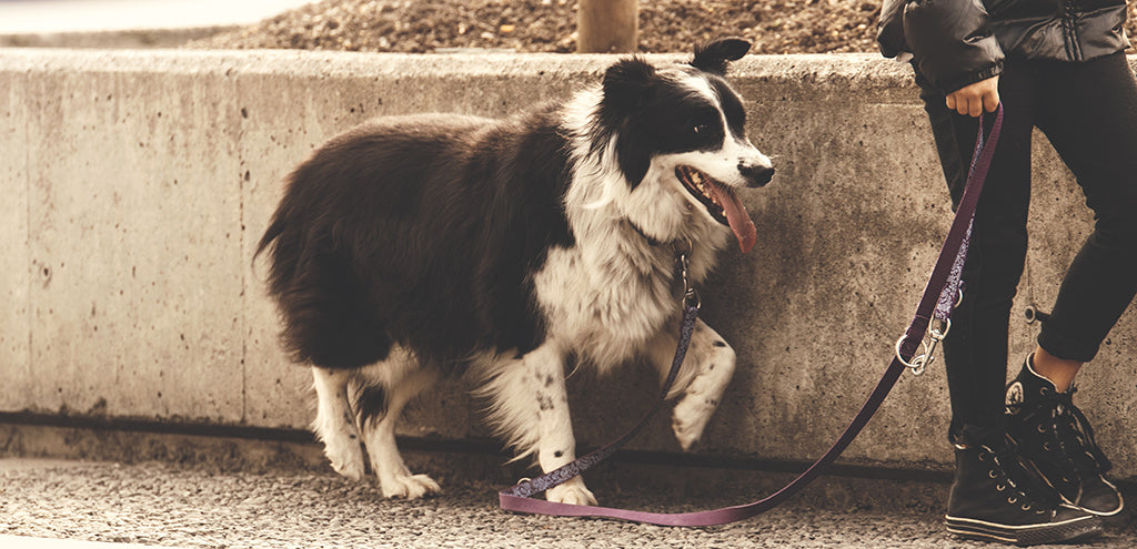Brown and white dog limping