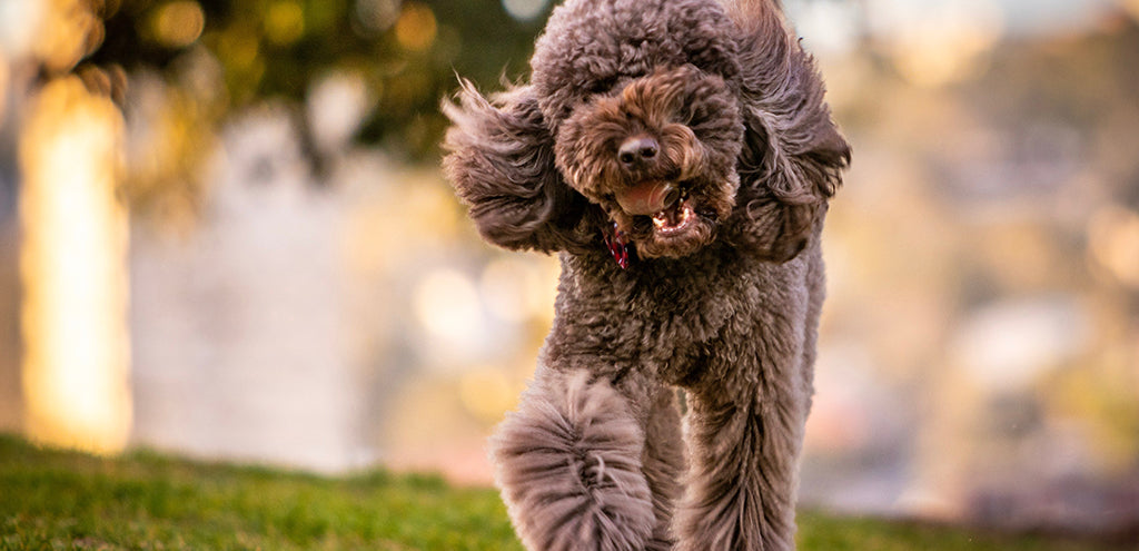 Grey Poodle running in park