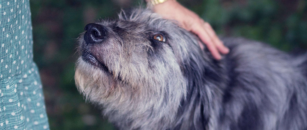 Grey dog with owner