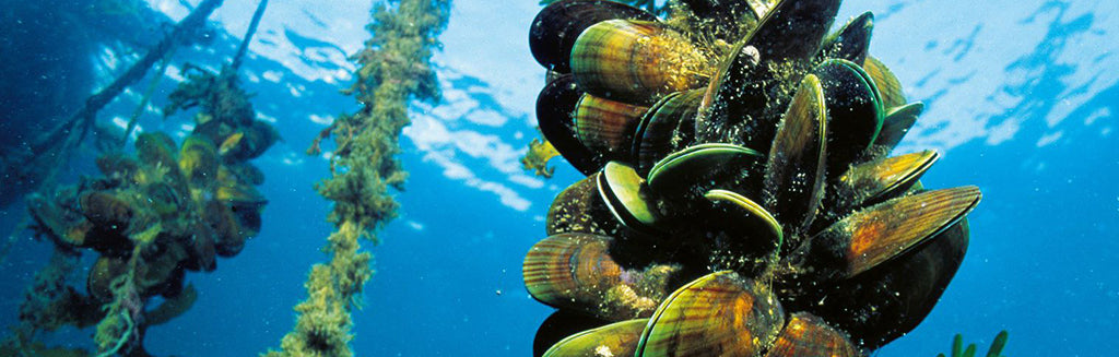 Green Lipped Mussels in the sea