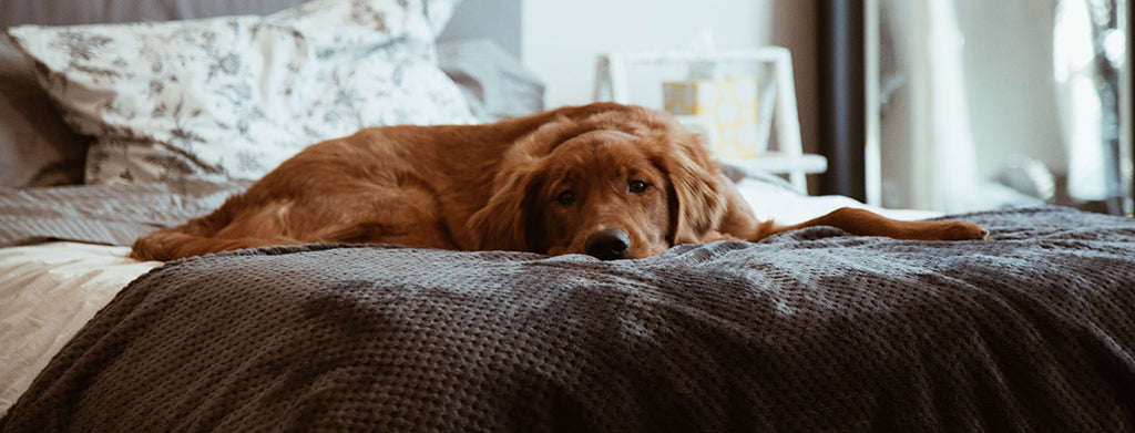 Golden Retriever laying on bed
