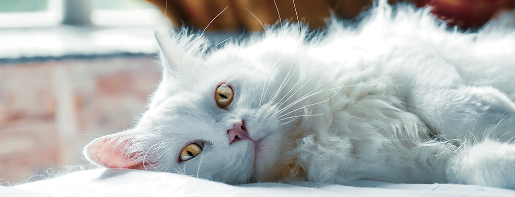 Fluffy white cat laying down