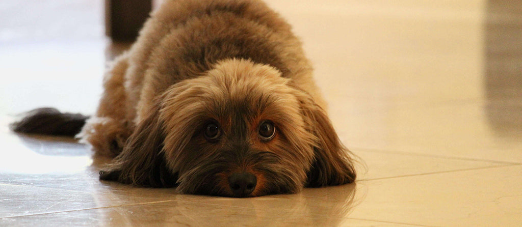 Fluffy puppy laying on floor
