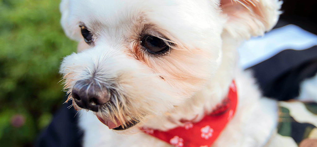 small white dog with red collar