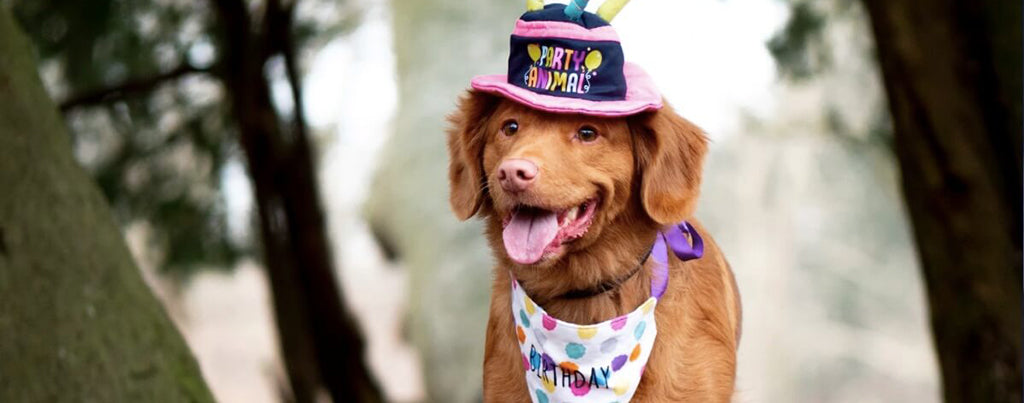 Fluffy dog wearing birthday hat