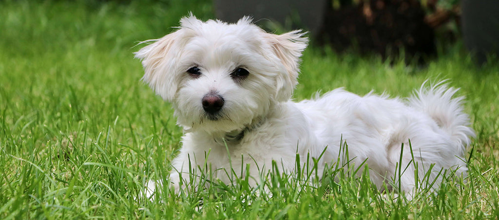 small white dog in grass