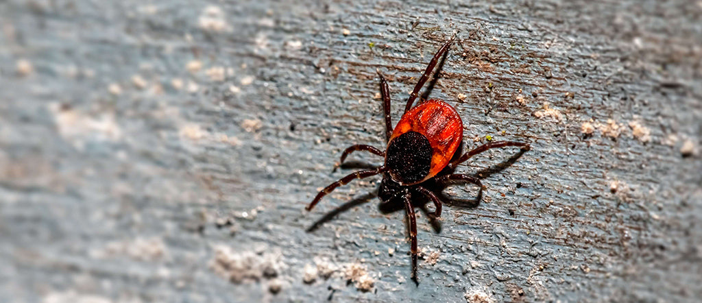 red tick on wood