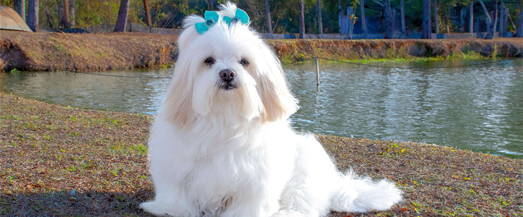 Dog with long white fur