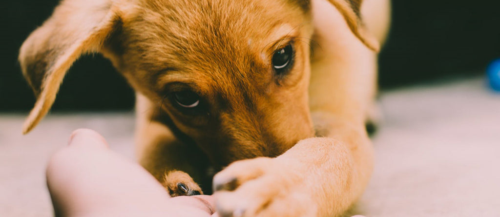 Small puppy sniffing hand