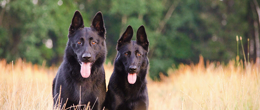 Two black dogs in long grass