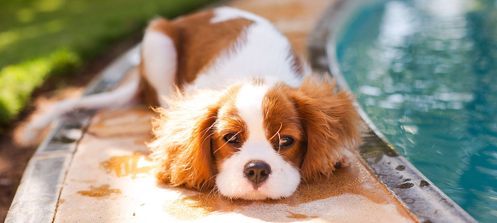small puppy laying by pool