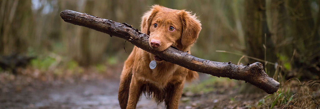 Fluffy dog holding large stick in woods