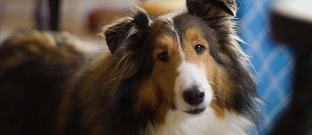collie with big ears