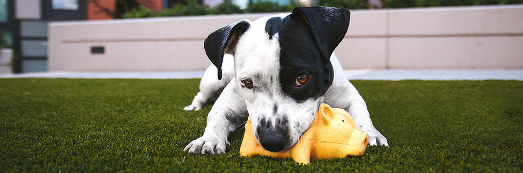 small white and black dog playing in garden with yellow toy