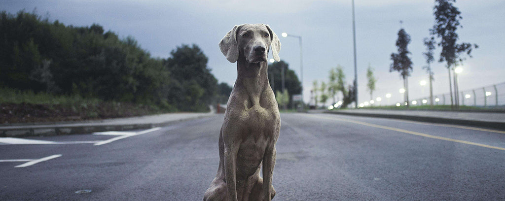 Tall grey dog in road