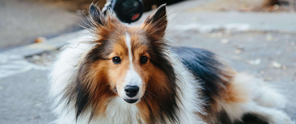 Long haired dog laying down
