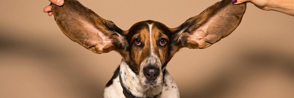 big dog ears