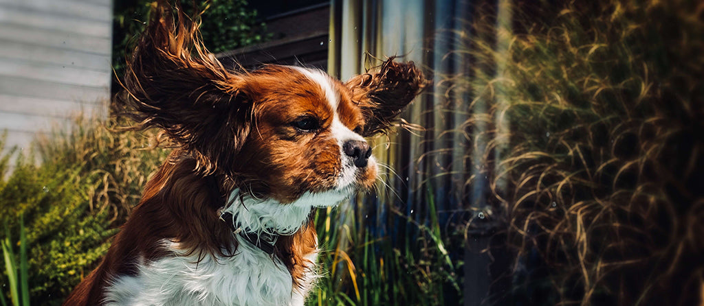 cavalier king charles puppy with ears flapping
