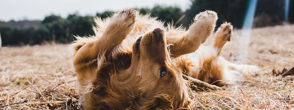 Golden Retriever rolling in field