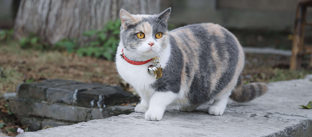 grey and white cat with red collar
