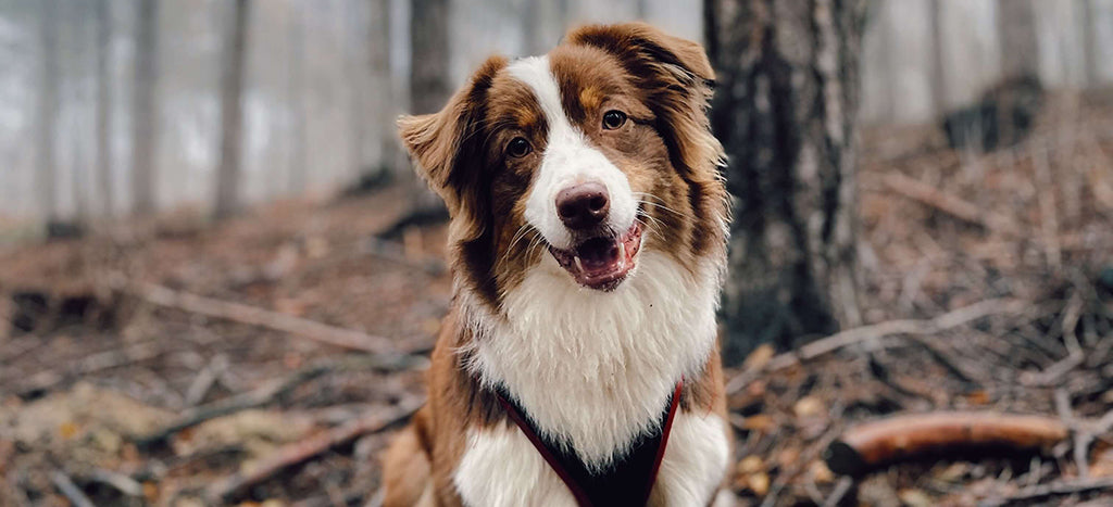 Fluffy dog in forest