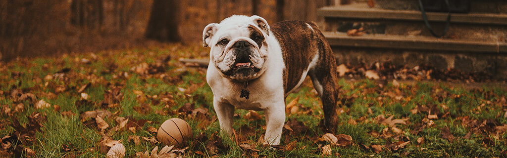 Bulldog in leaves