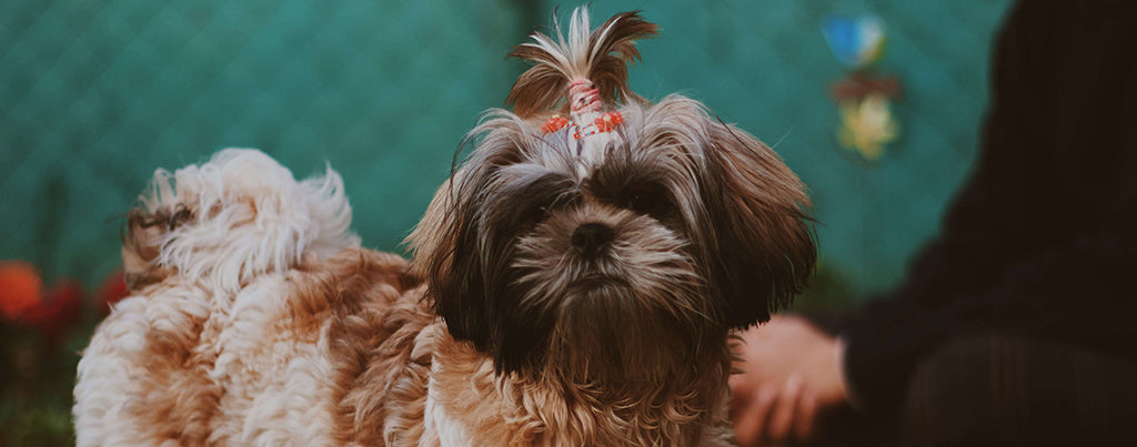 shih tzu with owner