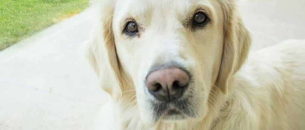 White Golden Labrador
