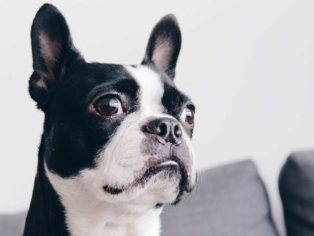 Boston Terrier Love - Rita - About Us