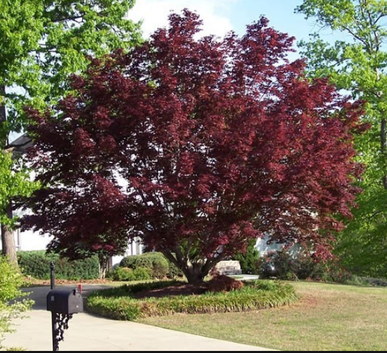 Bloodgood Japanese Maple Gardens Of The World