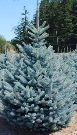 Fat Albert Blue Spruce