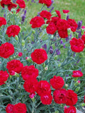Passion First Scent Sweet William