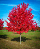 Red Sunset Red Maple