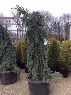 Slenderina Weeping Colorado Blue Spruce