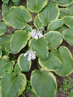 Frances William's Hosta