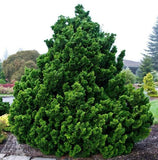 Slender Hinoki False Cypress