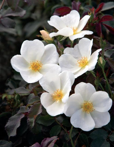 White Knock Out Rose