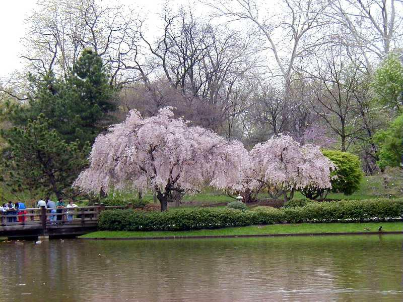 Pink Weeping Cherry