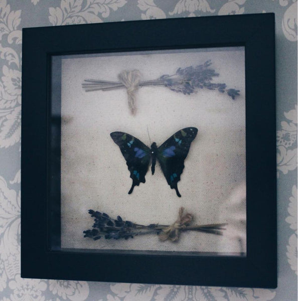 Real Pinned Butterfly with Dried Lavender Shadowbox