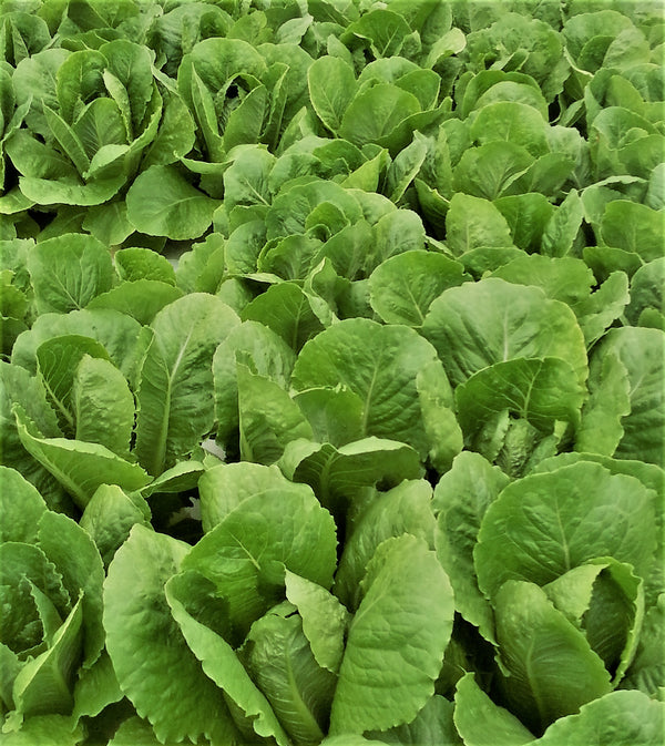 Local Aquaponic Romaine