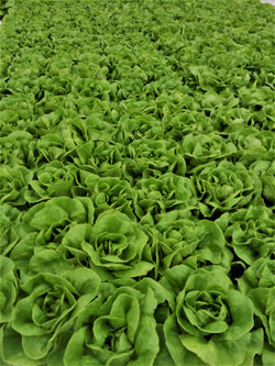 Aquaponic Butter Leaf Lettuce