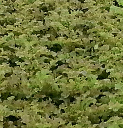 Aquaponic Outrageous Red Oak Lettuce