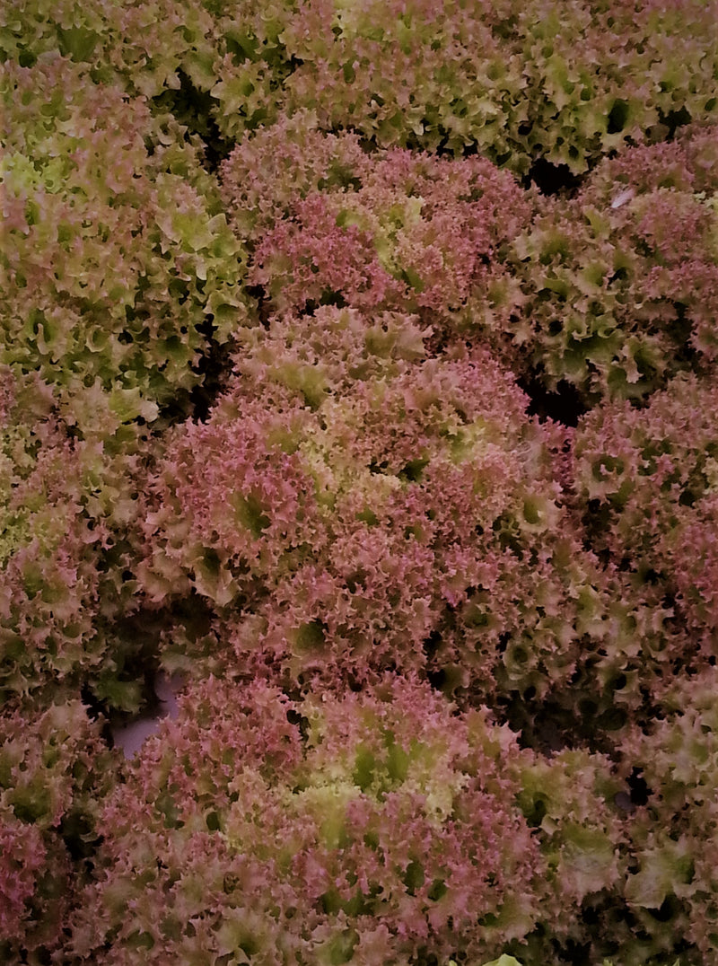 Aquaponic Lolo Red Lettuce