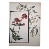 Red Valerian and Honeysuckle British Watercolor on Linen and Board