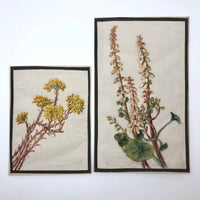 British Watercolor of Wall Pennywort on Linen Gauze